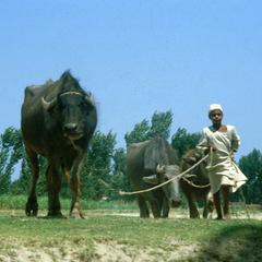 Young Boy Leading Water Buffalo