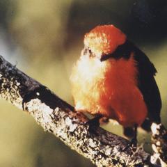 Vermillion Flycatcher (Pyrocephalus rubinus)