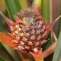 Pineapple plant with inflorescence