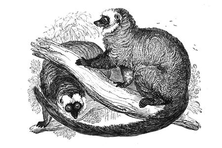 The White-Fronted Lemur