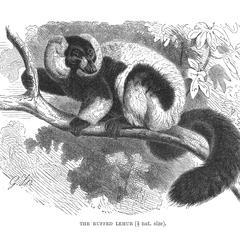The Ruffed Lemur (1/7 nat. size)