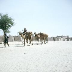 Camels in the Street in N'Guigmi near Shores of Lake Chad