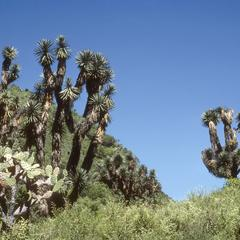 Yucca and Opuntia on limestone hills