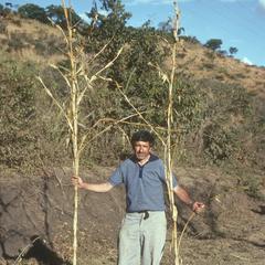 Hugh Iltis with huge teosinte plants, south of Agua Blanca