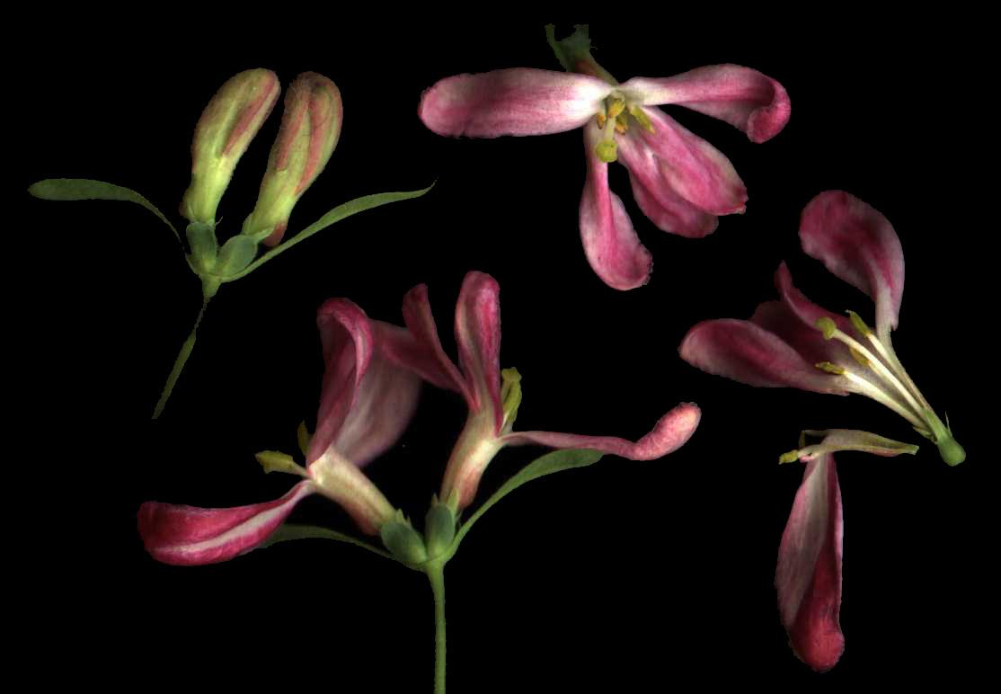 Lonicera  flowers