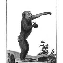 Le Pitheque Femelle (Female ape)