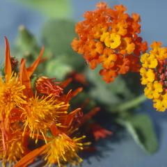 Flowers of Lantana and Senecio that mimic each other to attract pollinators