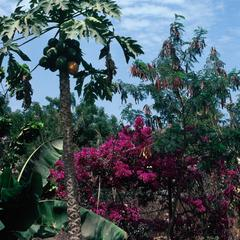 Papaya and Bougainvillea in a Backyard in Banjul