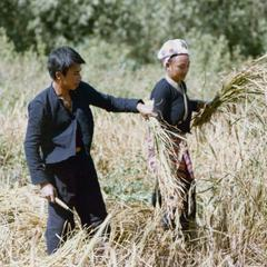 Lu farmers harvest rice near the village of Phibounsin in Houa Khong Province