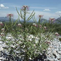 Polanisia uniglandulosa on limestone gravel