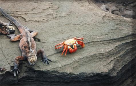 Marine Iguana (Amblyrhynchus cristatus) and Sally Lightfoot Crab (Grapsus grapsus)