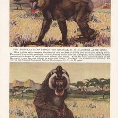 The Mandrill and the Drill