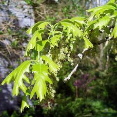 Flowering bough of Bur oak