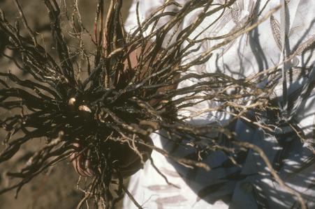 Roots of Zea diploperennis