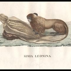 Simia Leonina