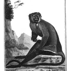 La Diane (Diana monkey)