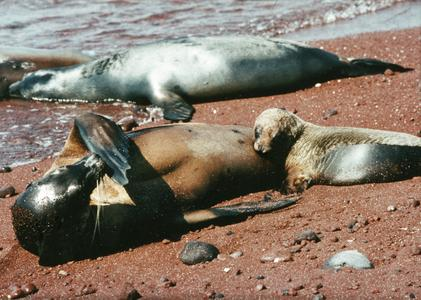 Galápagos Sea Lions (Zalophus wollbaeki)