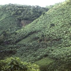 Banana plantings in valley near Turrialba