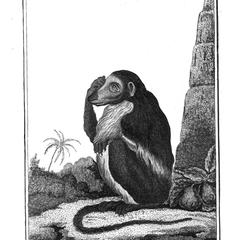 La Guenon a museau alonge (Guenon with long snout)