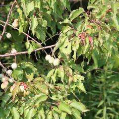 Branch with fruit of wild plum