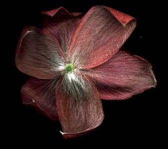 Back of a flower of Pulsatilla vulgaris