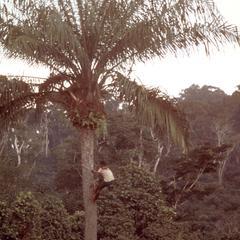 Boy Climbing Palm Tree to Harvest Palm Nuts
