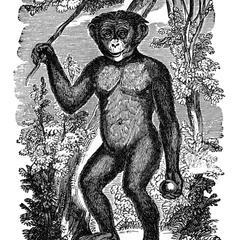 Standing Bonobo Print