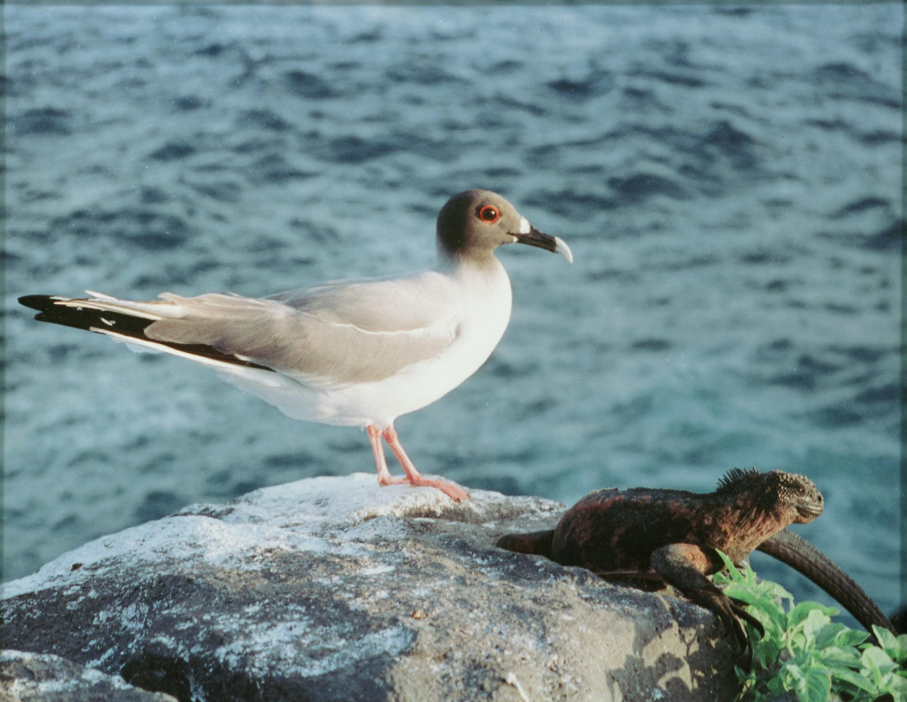 Swallow-tailed Gull  (Larus furcatus) and Marine Iguana (Amblyrhynchus cristatus)