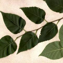 Pinnately veined leaves of paper birch