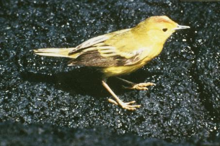 Yellow Warbler (Dendroica petechia)