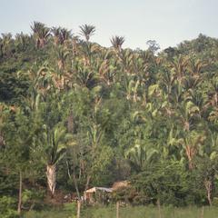 Scheelea palms, east of La Ceiba