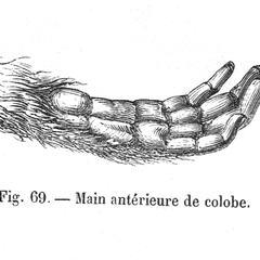 Main antérieure de colobe. (Colobus monkey's hand)