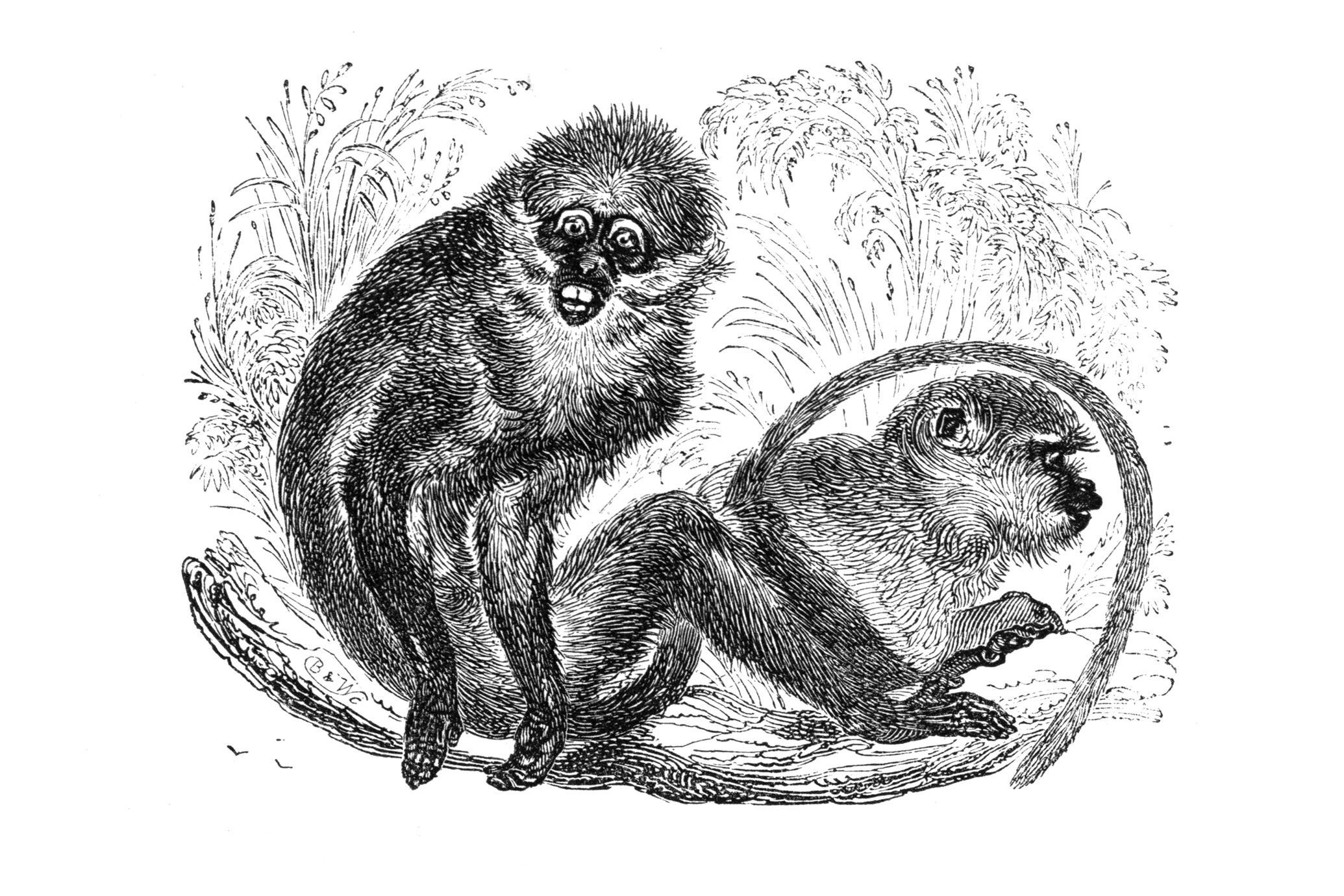 The White Eyelid Monkey