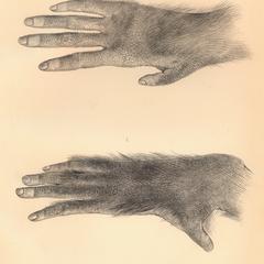Hand and Foot of Orang.