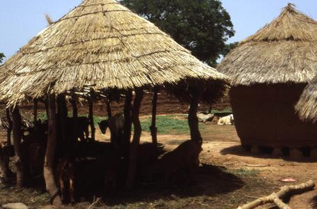 Goats in village outside of Zaria