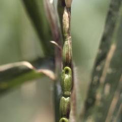 "Fruits of ""Tripsacoid"" teosinte"