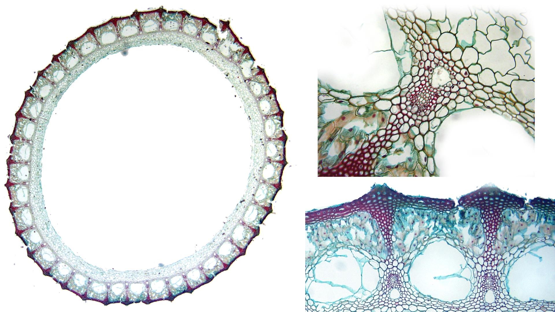 Equisetum - cross section of stem