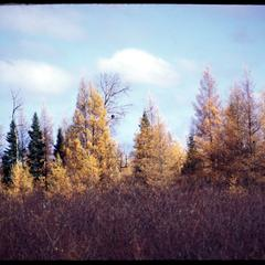 Tamarack and spruce trees in fall, northern Wisconsin