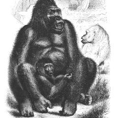 The Gorilla in the Paris Exhibition