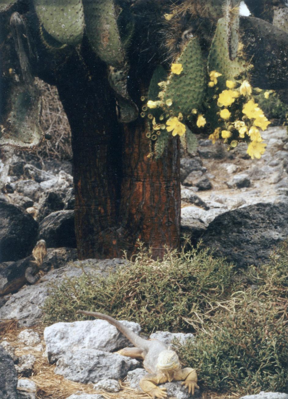Prickly Pear Cactus (Opuntia echios) and Land Iguanas ( Conolophus subcrisatus)