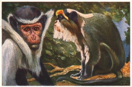 Colobus Monkey Print