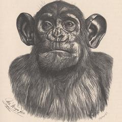 Kopf des erwachsenen männlichen Chimpanse