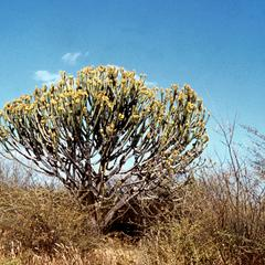 Euphorbia Tree in Bloom