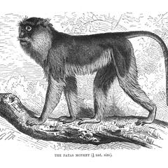 The Patas Monkey (1/8 nat. size)