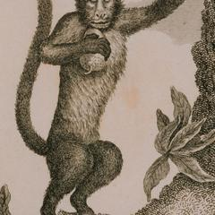 Le Sajou Cornu (Horned Capuchin)