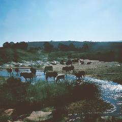 Cattle Drinking in Stream near Piggs Peak