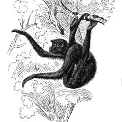 Red-Faced Spider Monkey Print