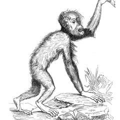 Orang-outang, d'après un ancien vélin du Muséum.