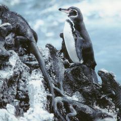 Galápagos Penguin (Sphenicus mendiculus) and Marine Iguanas (Amblyrhynchus cristatus)