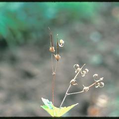Geranium maculatum split seed capsules